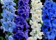 Delphinium Belladonna mixed   30 seeds